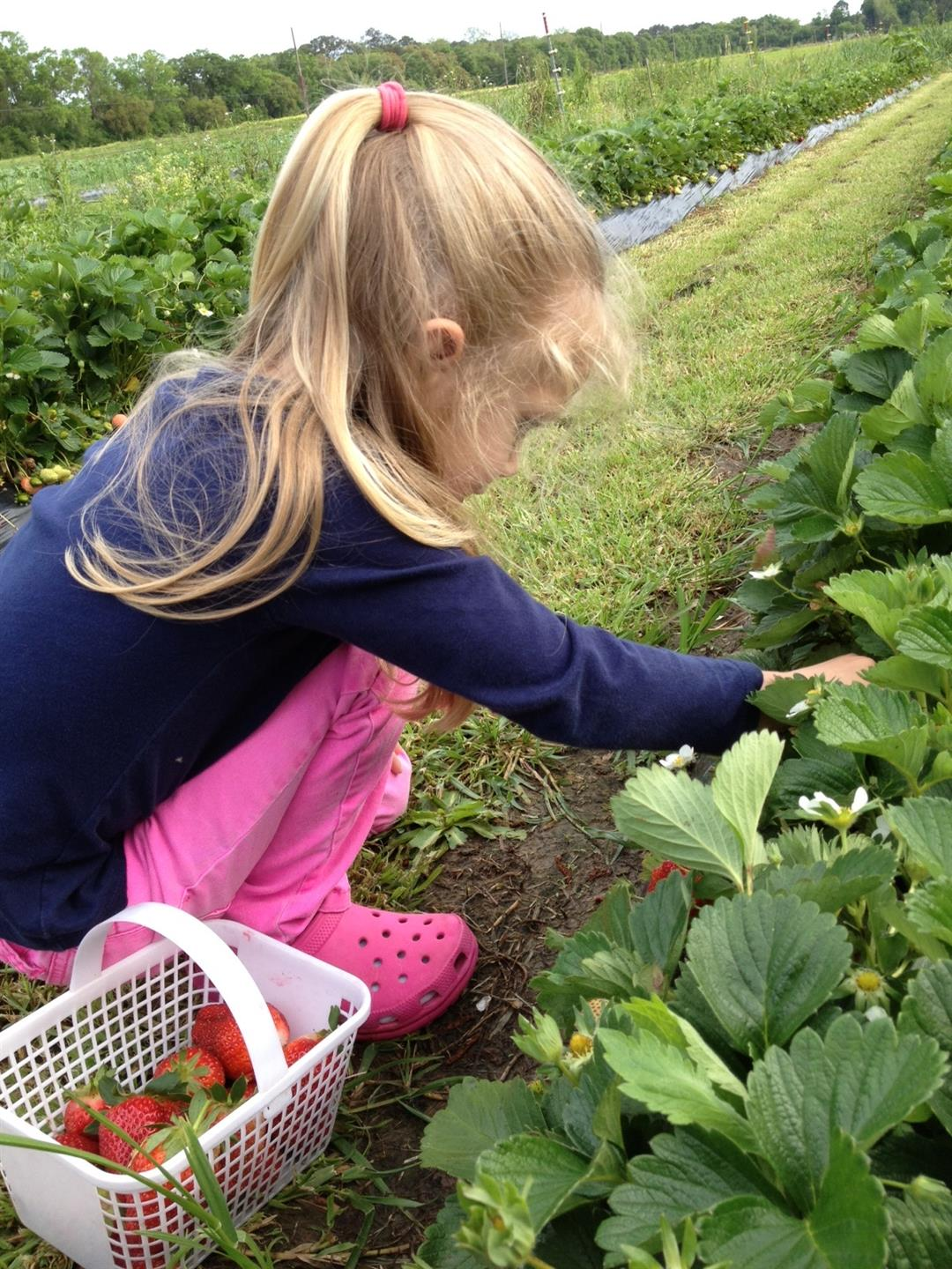 Small child picking strawberries