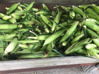Ears of unshucked corn in a basket