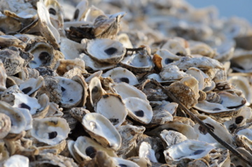 pile of oyster shells stacked together