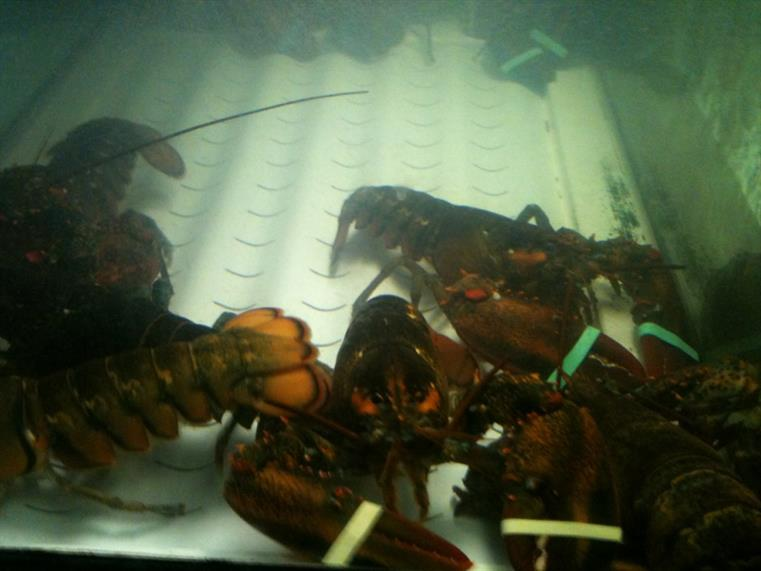 Lobsters in lobster tank