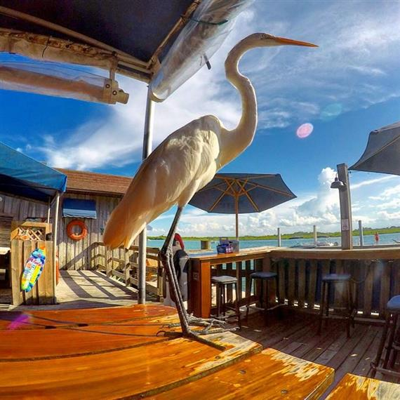 Egret standing on outdoor table